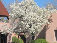 Our February Plant of the Month is the Evergreen Pear! (Pyrus kawakamii)