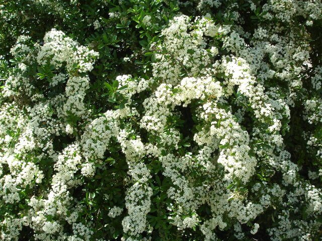 Plant Of The Month Firethorn Pyracantha Pyracantha