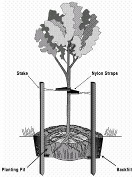 Staking New Trees In The Landscape Horticulture Unlimited