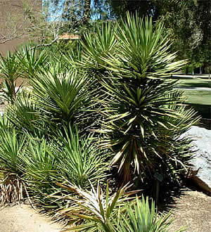 Spanish Bayonet Horticulture Unlimited