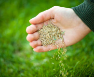 Gardening Tip of the Month: Overseeding with Perennial Rye