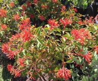 Plants of the Month: The Cape Honeysuckle and the Firecracker Bush