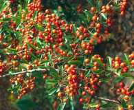 Plant of the Month: Firethorn Pyracantha (Pyracantha coccinea)