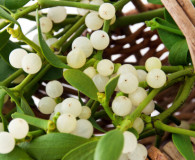 How to Remove Mistletoe: the World's Most Beloved Parasite