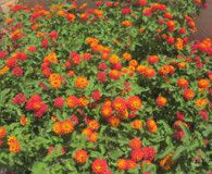 July's Plant of the Month is Lantana camara!
