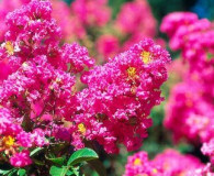 August's Plant of the Month is Crape Myrtle!
