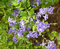 September's Plant of the Month is Duranta erecta