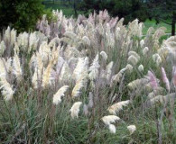 October's Plant of the Month is Pampas grass!