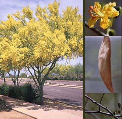 Blue Palo Verde Tree Horticulture Unlimited