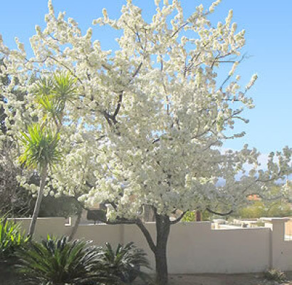 Evergreen pear tree horticulture unlimited evergreen pear tree mightylinksfo