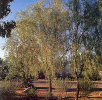 Willow Acacia Tree Horticulture Unlimited