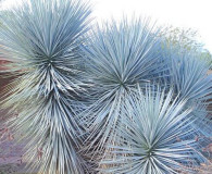 Blue Yucca is the December Plant of the Month!