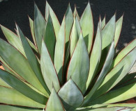 Blue Glow Agave is the January Plant of the Month!