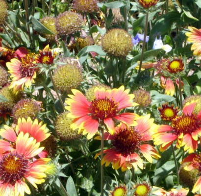 Blanket Flower Horticulture Unlimited