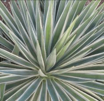 Caribbean Agave Horticulture Unlimited