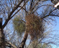 Mistletoe removal from trees