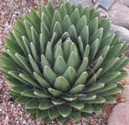 Queen Victoria Agave Horticulture Unlimited