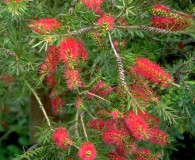 Bottle Brush is the April Plant of the Month!