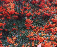 Pyracantha coccinea is the December Plant of the Month!