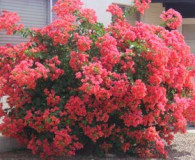 Bougainvillea is the Plant of the Month!