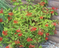 Hamelia patens is the Plant of the Month!