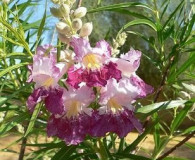 Desert Willow is the Plant of the Month!
