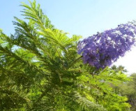 Jacaranda is the Plant of the Month!