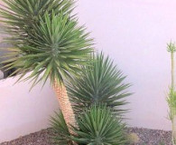 Yucca Aloifolia is the Plant of the Month!