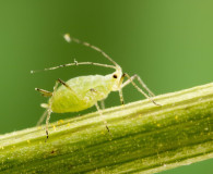 Could You Have an Aphid Infestation?