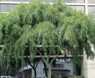 Ulmus parvifolia - Chinese Elm Large-sized tree