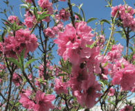 Prunus persica 'Bonanza' Dwarf Bonanza Peach Small-sized tree