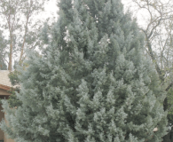Cupressus arizonica - Arizona Cypress Large-sized tree
