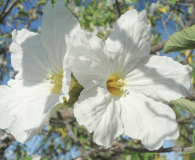 Cordia boissieri - Texas Olive Medium-sized tree