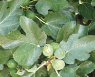Ficus Carica or Common Fig, Edible Fig Medium-sized tree