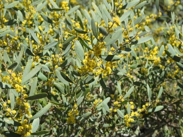 Acacia Redolens Horticulture Unlimited