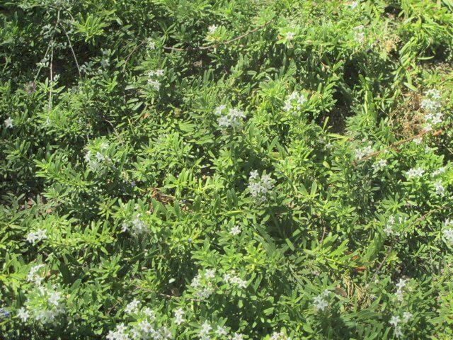 Myoporum Parvifolium Horticulture Unlimited