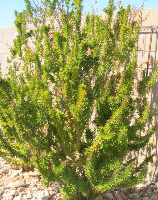Myrtus Communis Horticulture Unlimited