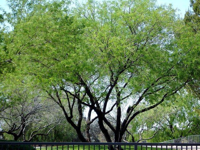 Prosopis Velutina Horticulture Unlimited