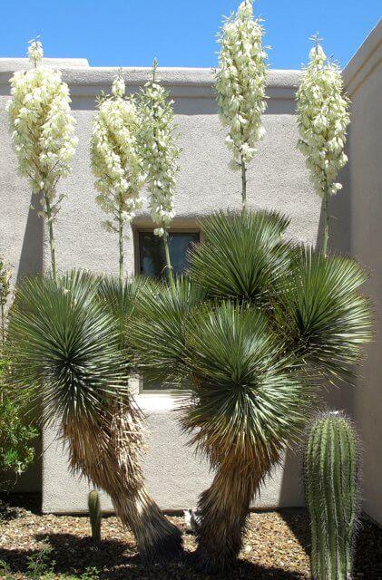 Yucca Elata Horticulture Unlimited