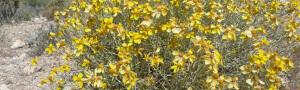 Tucson shrubs