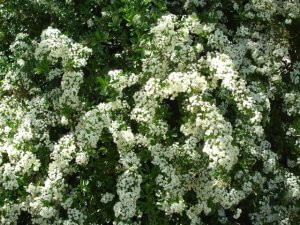 Pyracantha coccinea, Firethorn in bloom 1280x960