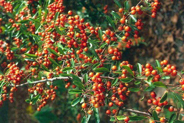 Plant of the month firethorn pyracantha pyracantha for Piracanta pianta