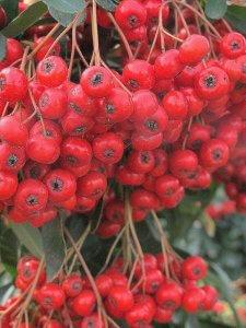 Pyracantha coccinea berries, Firethorne, Scarlet Firethorne (1)
