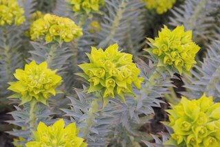 Euphorbia rigida, Gopher plant in bloom