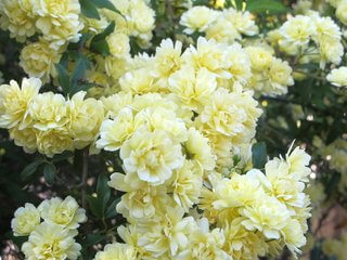 Rosa banksiae 'Lutea', Yellow Lady Bank's Rose Vine