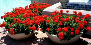 Container Gardens With Exquisite Red Geraniums