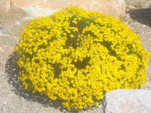 Chrysactinia mexicana, Damianita
