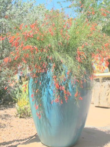 Russelia equiformis, Coral fountain