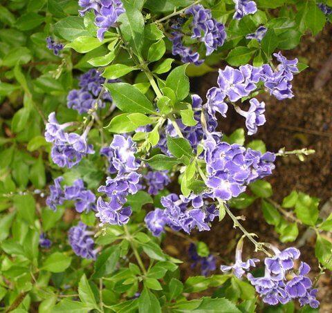 Duranta erecta, Sky Flower 1006x949