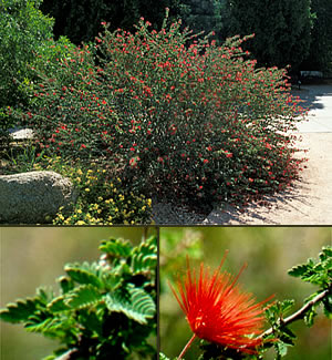 Baja Fairy Duster Horticulture Unlimited